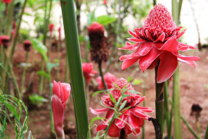 The very beautiful and vibrant ginger torch flower