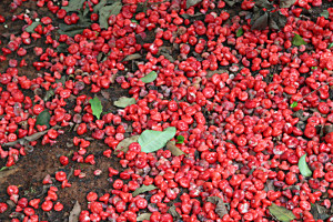 A bed of red fruit, lying on the ground